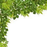 Branch of maple with green leaves isolated Royalty Free Stock Images