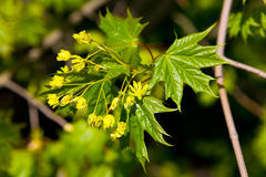 A branch of a maple leaf with young leaves and yellow flowers. Nature stock photos