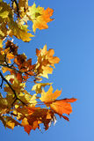 A branch of maple leaves. Against blue sky Royalty Free Stock Photo