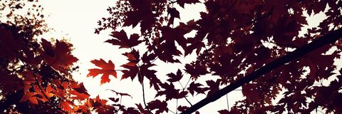 Branch of maple leaves in autumn. Autumnal nature scene with copy space stock photo