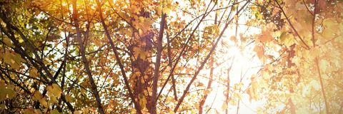 Branch of maple leaves in autumn. On a sunny day Stock Photos