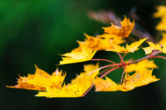 Branch of maple leaves in autumn colors Stock Photo