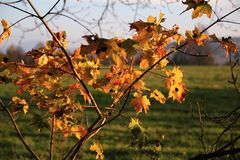 Branch with maple leaves at sunset. In autumn Stock Photography