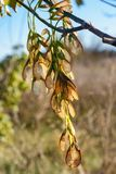 Branch of maple with seeds. In Tuscany, Italy royalty free stock images