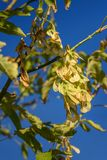 Branch of maple with seeds. In Tuscany, Italy royalty free stock photo