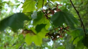 Branch of maple with seeds on wind. Acer platanoides. HD video footage shooting of static camera. stock video footage