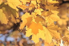 Branch of maple-tree. Autumnal branch of maple-tree with yellow leaves Stock Photography