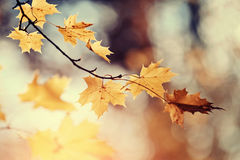 Branch of maple tree with autumn leaves. Stock Photos
