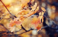 Branch of maple tree with autumn leaves. Royalty Free Stock Image