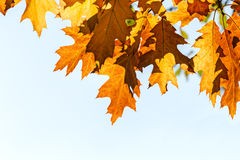 Branch of maple tree with orange and yellow leaves against sky Stock Photography