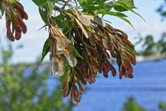Branch of the maple tree with seeds. Branch of the maple tree-Acer negundo with seeds against the sky Stock Images