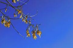 Branch of the maple tree with seeds. Branch of the maple tree-Acer negundo with seeds against the sky royalty free stock photos