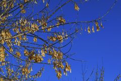 Branch of the maple tree with seeds. Branch of the maple tree-Acer negundo with seeds against the sky stock photo
