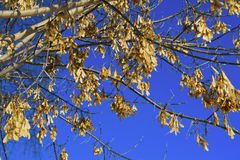 Branch of the maple tree with seeds. Branch of the maple tree-Acer negundo with seeds against the sky royalty free stock photography