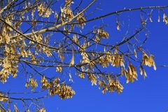 Branch of the maple tree with seeds. Branch of the maple tree-Acer negundo with seeds against the sky stock image