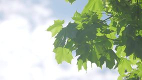 Branch of maple tree in spring time. Fresh green leaves on the branch with daylight. lifestyle nature concept. Branch of maple tree in spring time. Fresh green stock video
