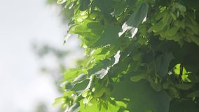 Branch of maple tree in spring time. Fresh green leaves on the branch with daylight. nature lifestyle concept. Branch of maple tree in spring time. Fresh green stock video footage