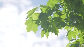 Branch of maple tree in spring time. Fresh green leaves on the branch with lifestyle daylight. nature concept. Branch of maple tree in spring time. Fresh green stock video