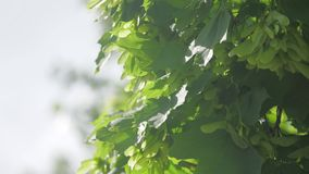 Branch of maple tree in spring time. Fresh green leaves on the branch with daylight. nature concept lifestyle. Branch of maple tree in spring time. Fresh green stock footage