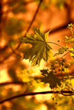 Branch of maple tree in spring time at sunset Royalty Free Stock Photo