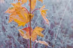 A branch of a maple tree with yellow leaves covered with frost, royalty free stock photography