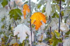 A branch of a maple tree with yellow leaves covered with frost,. A frosty autumn morning Stock Images