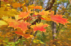 A branch of the maple tree with yellow leaves. On a Sunny day Royalty Free Stock Photography