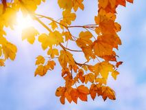 A branch of a maple tree with yellow and orange leaves against t. He blue sky, a sunny autumn day Stock Photos