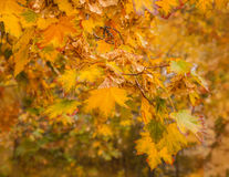 Branch of maple with yellow leaves Royalty Free Stock Images