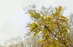 Branch of maple with yellow leaves Stock Images