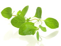 Branch of marjoram plant Stock Images