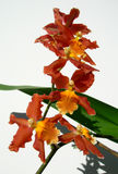 Branch of Marsala red orchids Stock Photo