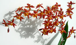 Branch of Marsala red orchids Stock Photos