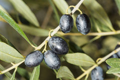 Branch with mature black olives Royalty Free Stock Photo