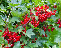 Branch of mature juicy red currant on a bush in a garden Stock Images