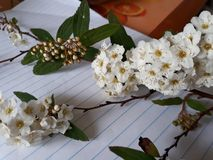 The Blossoms of May. A branch from a Mayflower tree, complete with buds, leaves and blossoms on lined writing paper. This is known by many names including the Royalty Free Stock Photography