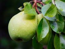 Branch med pears Royaltyfria Foton