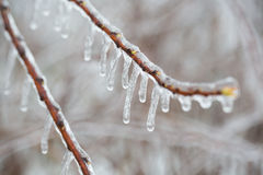 branch with melting sleet Royalty Free Stock Photo
