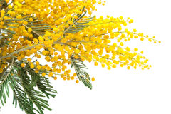 Branch of a mimosa Royalty Free Stock Image