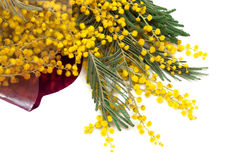 Branch of a mimosa Royalty Free Stock Photography