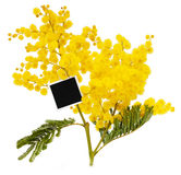 Branch of mimosa Stock Photography