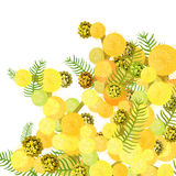 Branch of mimosa acacia silvery whitened family of legumes. Vect Stock Photography