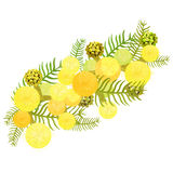 Branch of mimosa acacia silvery whitened family of legumes. Vect Royalty Free Stock Images