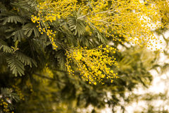 Branch of mimosa blossoms Stock Photography