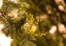 Branch of mimosa blossoms Stock Photo
