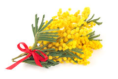 Branch of mimosa. Close up shot of mimosa flowers. Isolated on white royalty free stock image