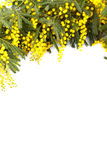 Branch of mimosa ,isolated Royalty Free Stock Photo