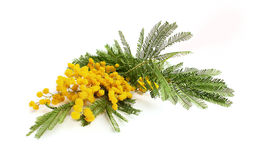 Branch of mimosa Stock Photo
