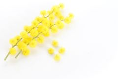 Branch of mimosa and its flowers Stock Photography