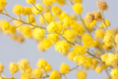 Branch of mimosa plant Royalty Free Stock Photos